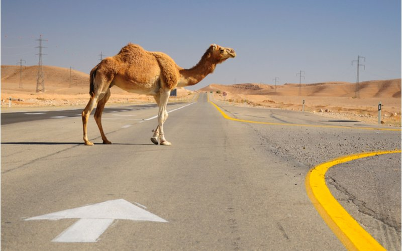 New Technology Will Enable Israeli Drivers to Detect Camels Approaching the Highway